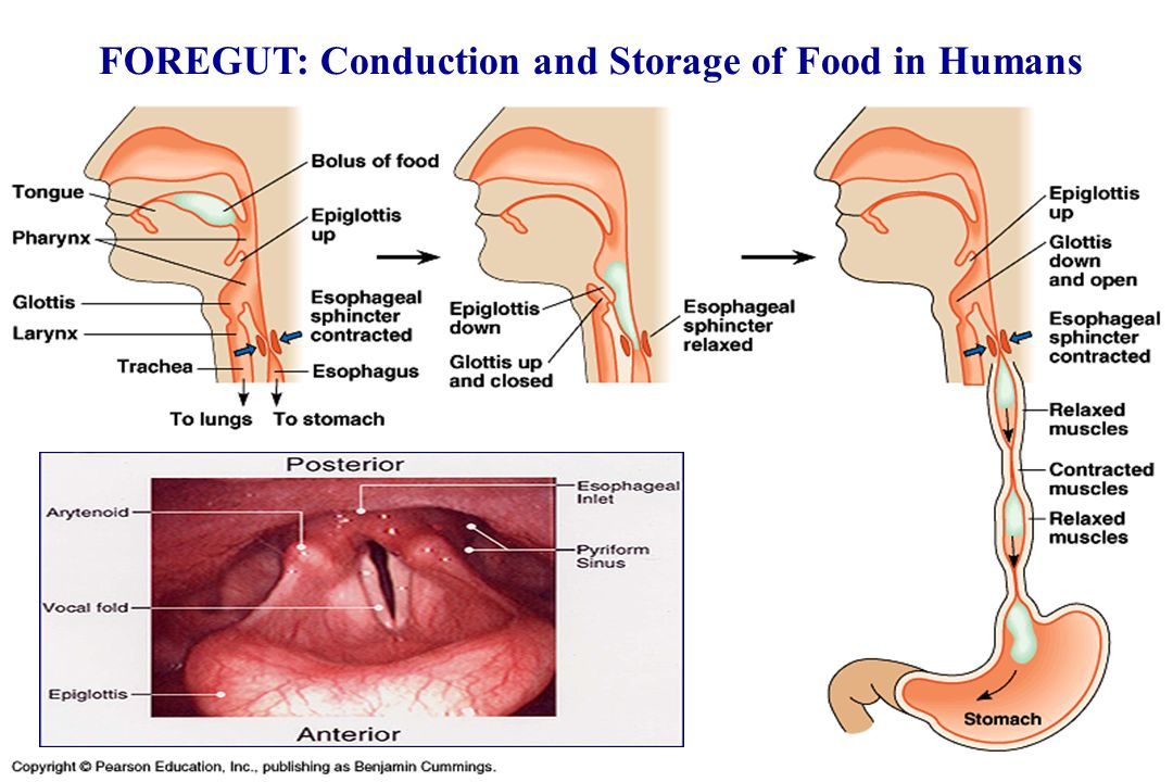 FOREGUT: Conduction and Storage of Food in Humans