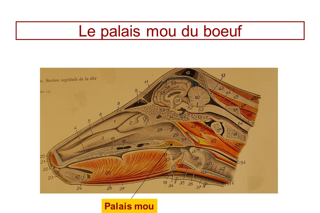 Le palais mou du boeuf Palais mou