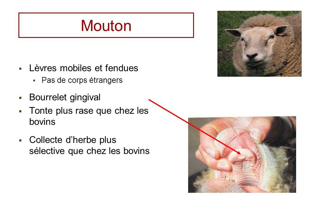 Mouton Lèvres mobiles et fendues Bourrelet gingival