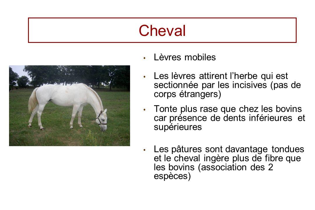 Cheval Lèvres mobiles. Les lèvres attirent l'herbe qui est sectionnée par les incisives (pas de corps étrangers)