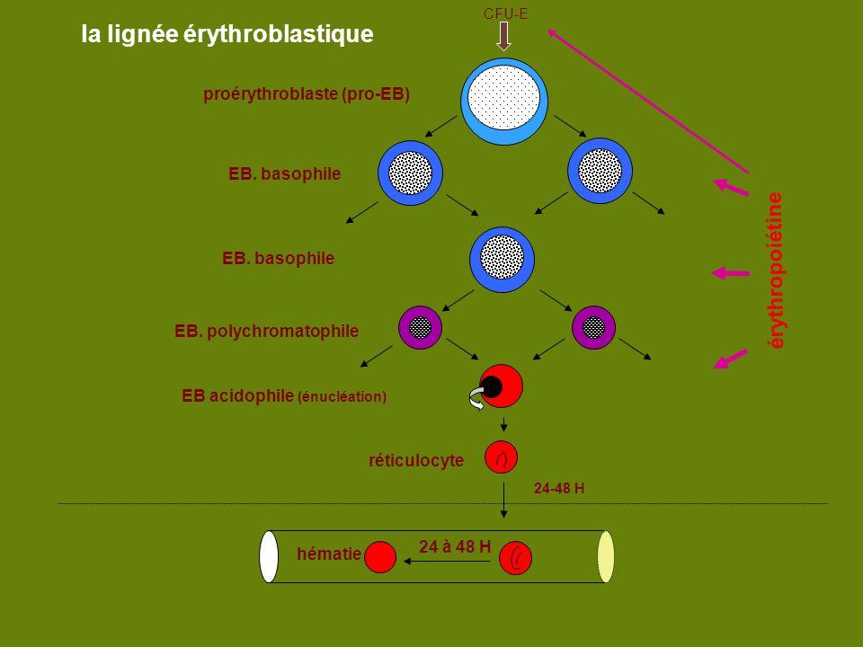 moelle sang la lignée érythroblastique érythropoiétine