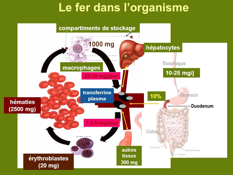 Le fer dans l'organisme