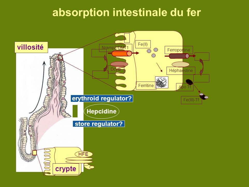 absorption intestinale du fer