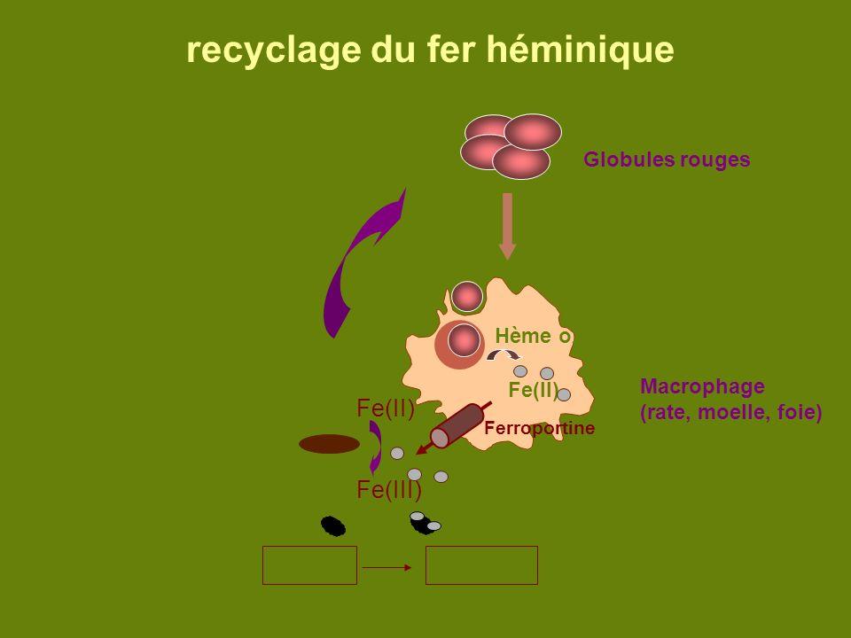 recyclage du fer héminique