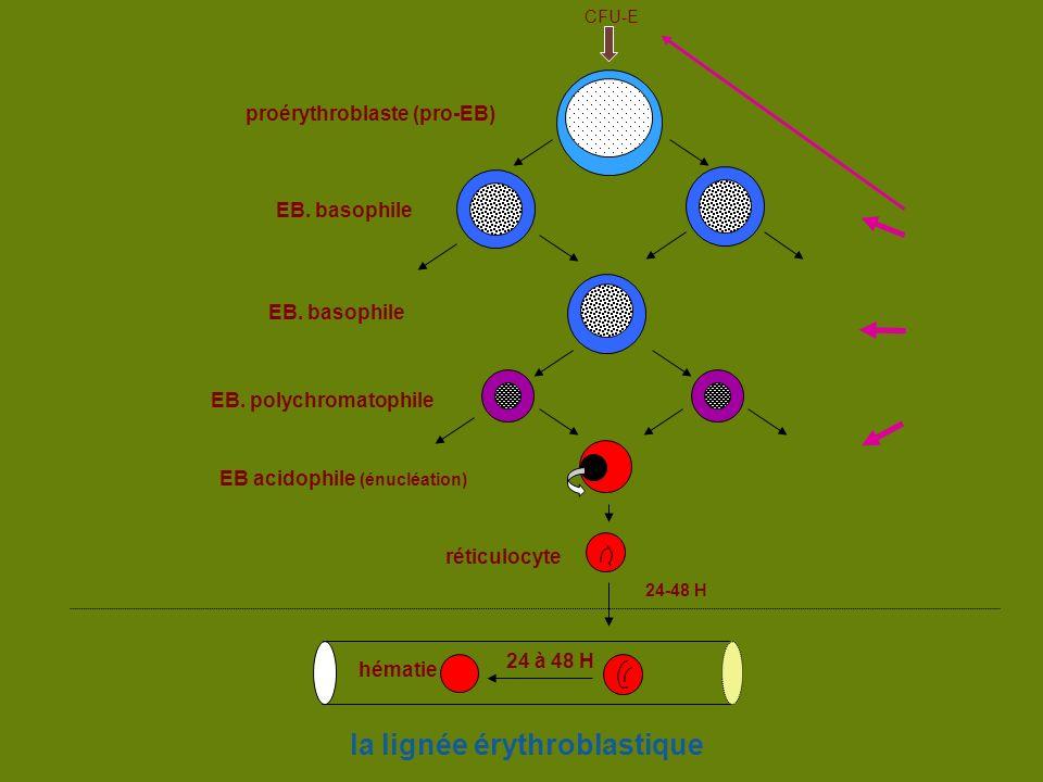 la lignée érythroblastique