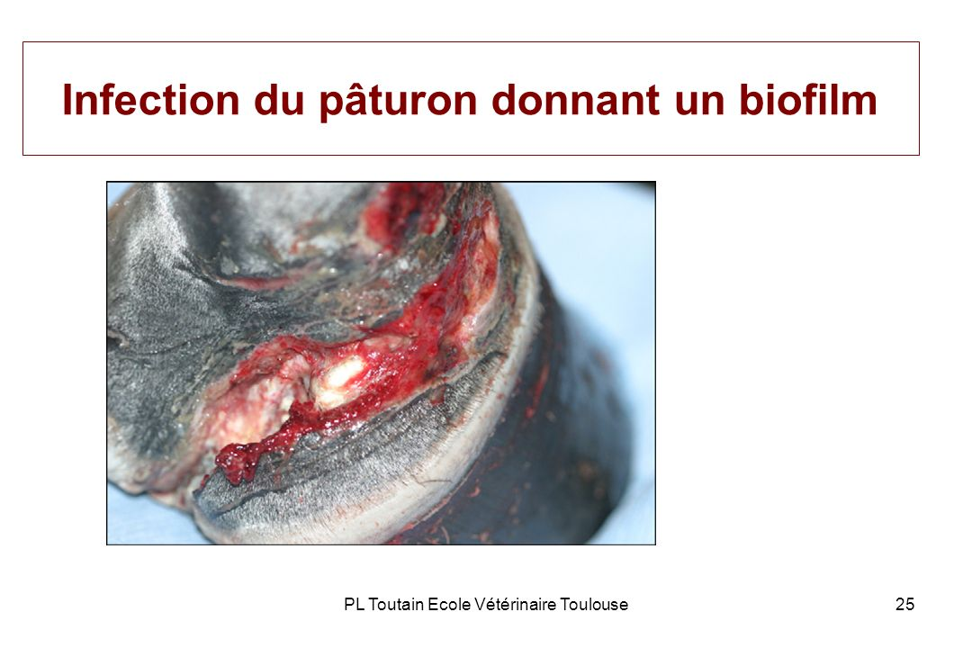 Infection du pâturon donnant un biofilm