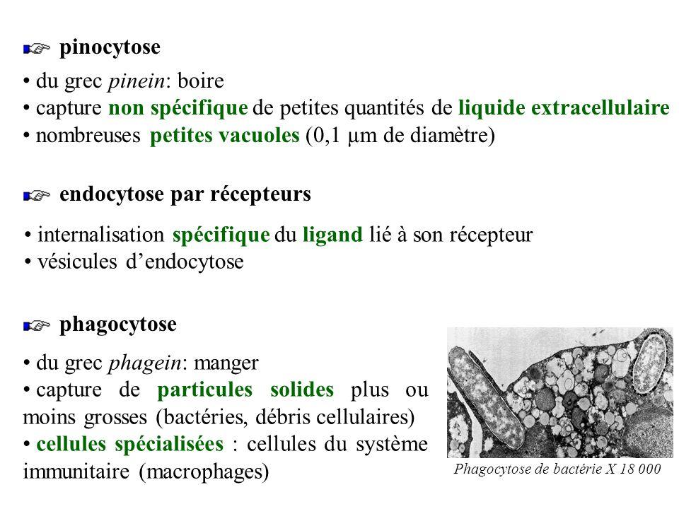 capture non spécifique de petites quantités de liquide extracellulaire