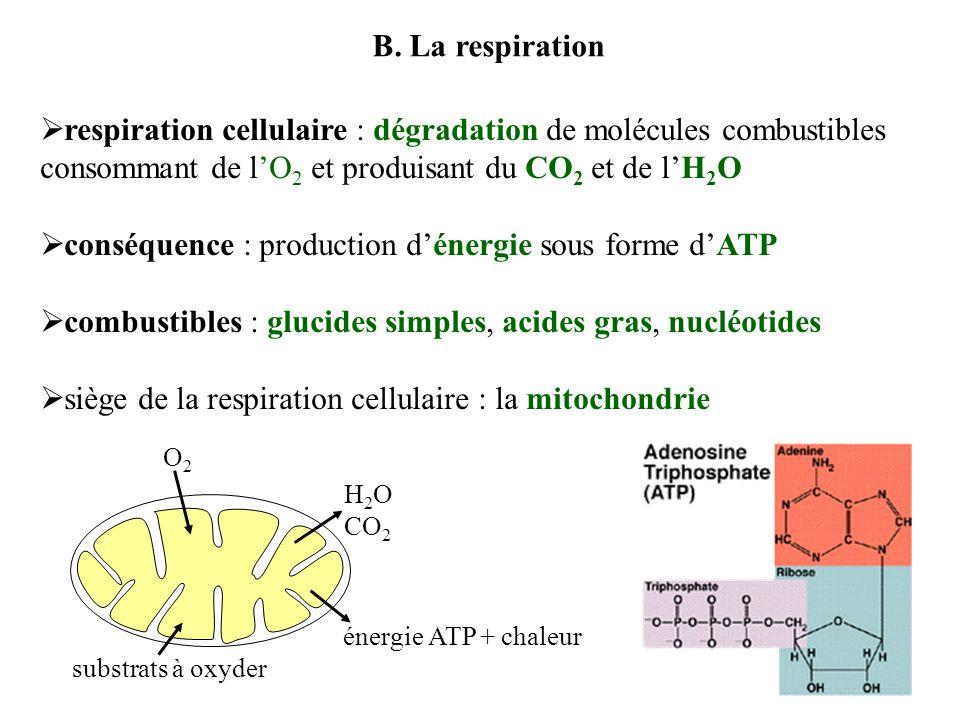 conséquence : production d'énergie sous forme d'ATP