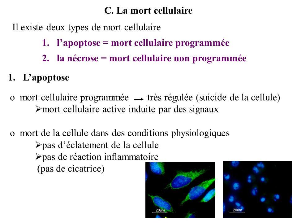 C. La mort cellulaire Il existe deux types de mort cellulaire. l'apoptose = mort cellulaire programmée.