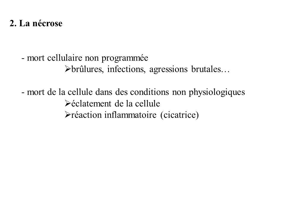 2. La nécrose - mort cellulaire non programmée. brûlures, infections, agressions brutales…