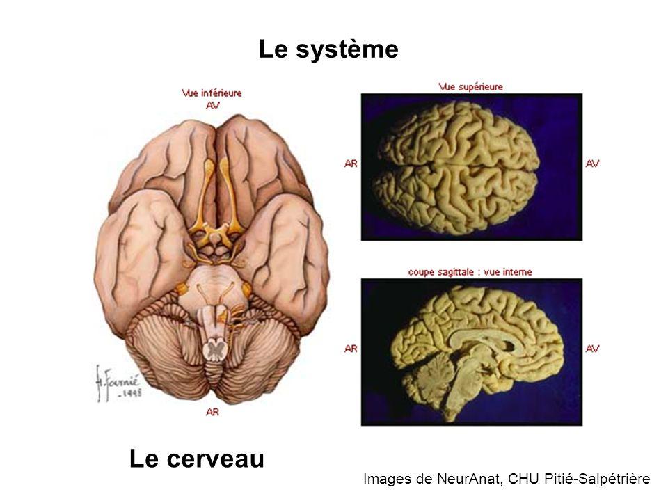 Le système Le cerveau Images de NeurAnat, CHU Pitié-Salpétrière