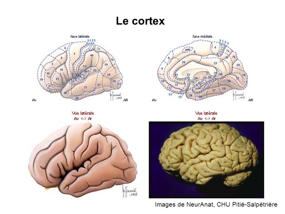 Le cortex Images de NeurAnat, CHU Pitié-Salpétrière