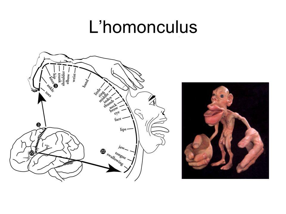 L'homonculus