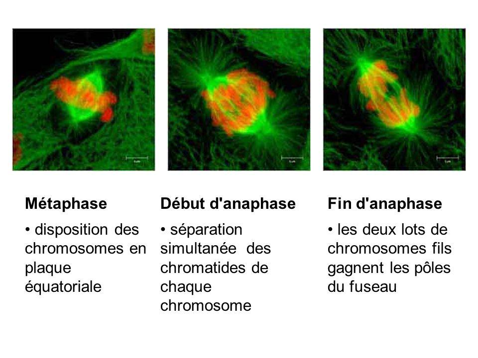 Métaphase disposition des chromosomes en plaque équatoriale. Début d anaphase.