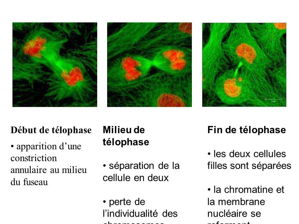 Début de télophase apparition d'une constriction annulaire au milieu du fuseau. Milieu de télophase.