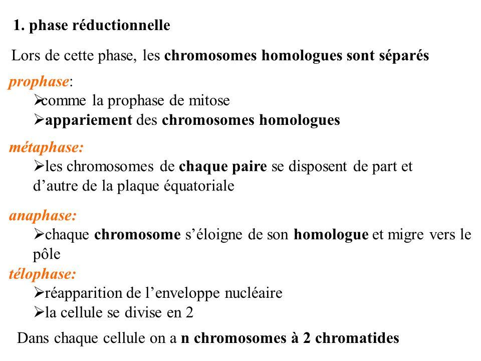 1. phase réductionnelle Lors de cette phase, les chromosomes homologues sont séparés. prophase: comme la prophase de mitose.