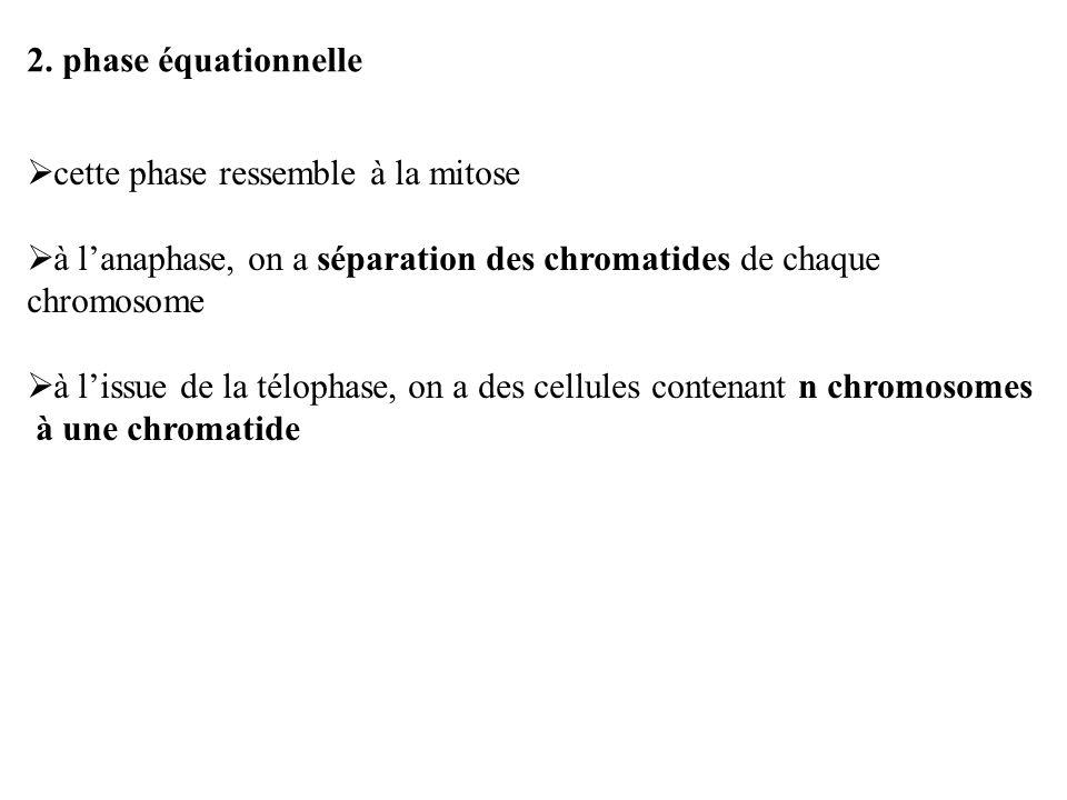 2. phase équationnelle cette phase ressemble à la mitose. à l'anaphase, on a séparation des chromatides de chaque chromosome.