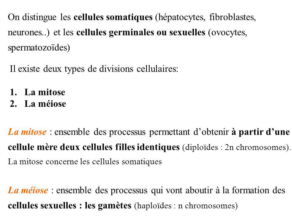 On distingue les cellules somatiques (hépatocytes, fibroblastes, neurones..) et les cellules germinales ou sexuelles (ovocytes, spermatozoïdes)