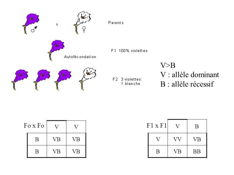 V>B V : allèle dominant B : allèle récessif Fo x Fo F1 x F1 V B VB