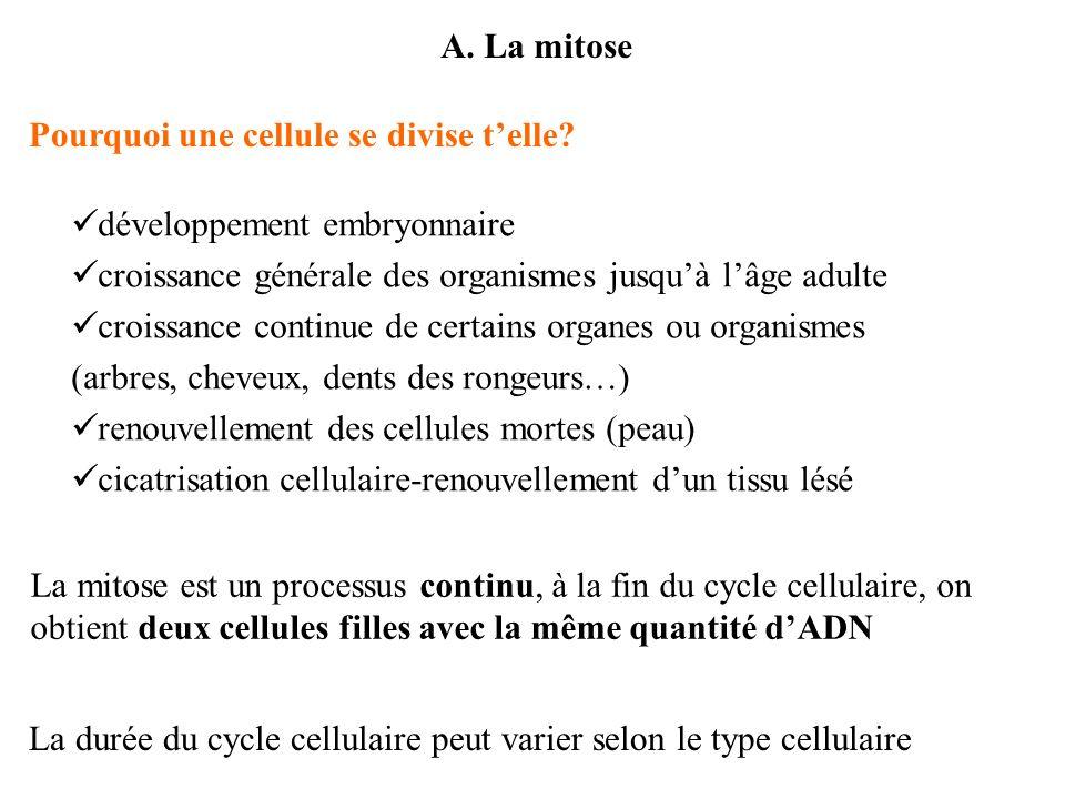A. La mitose Pourquoi une cellule se divise t'elle développement embryonnaire. croissance générale des organismes jusqu'à l'âge adulte.