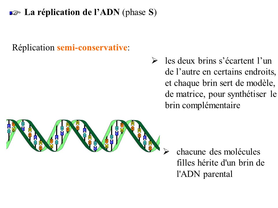 La réplication de l'ADN (phase S)