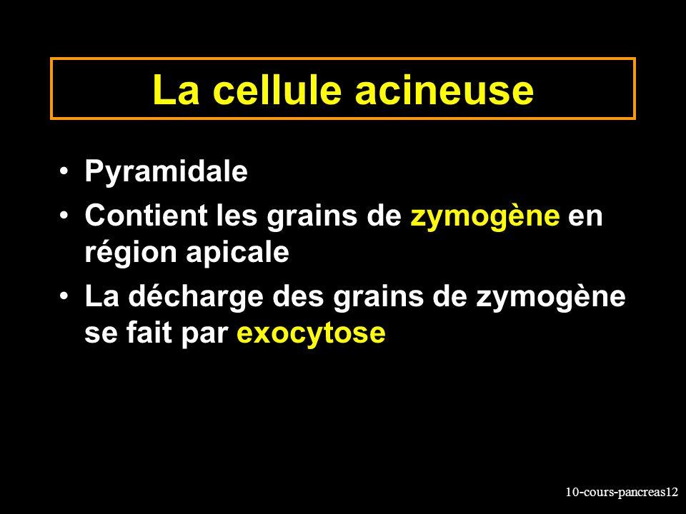 La cellule acineuse Pyramidale