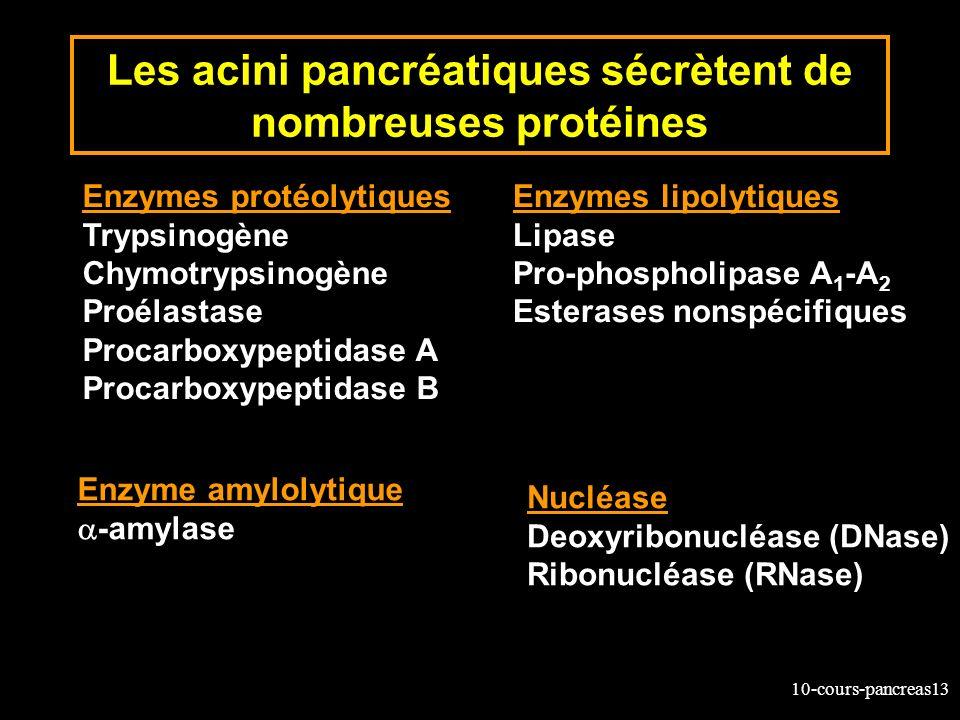 Les acini pancréatiques sécrètent de nombreuses protéines
