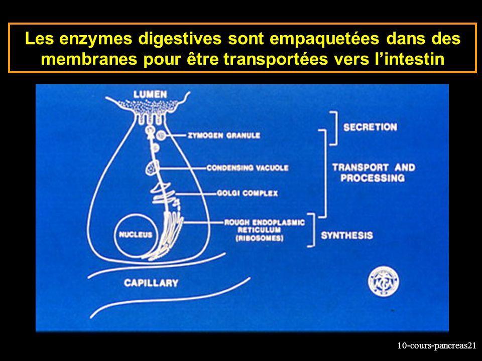 Les enzymes digestives sont empaquetées dans des membranes pour être transportées vers l'intestin