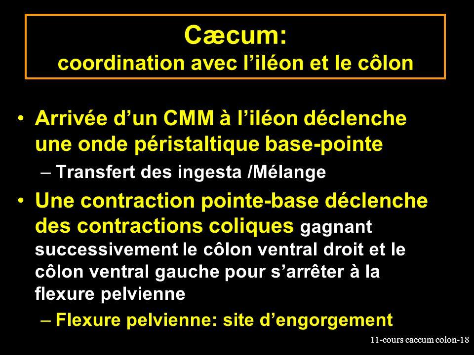 Cæcum: coordination avec l'iléon et le côlon