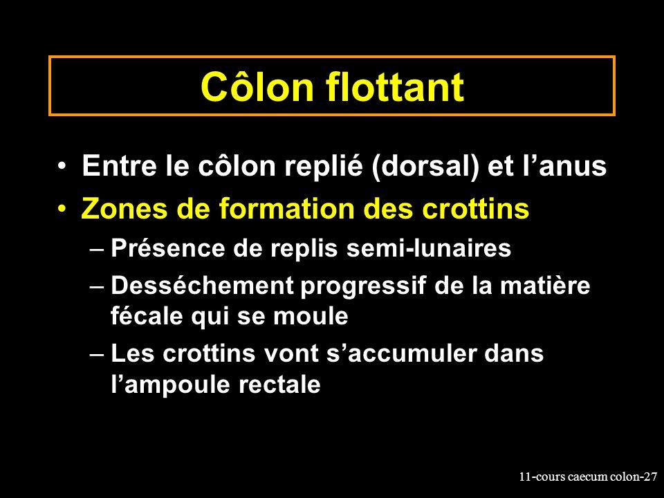 Côlon flottant Entre le côlon replié (dorsal) et l'anus