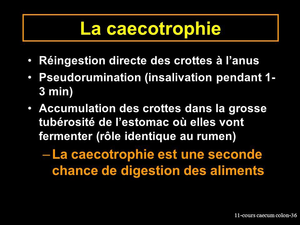 La caecotrophie Réingestion directe des crottes à l'anus. Pseudorumination (insalivation pendant 1-3 min)