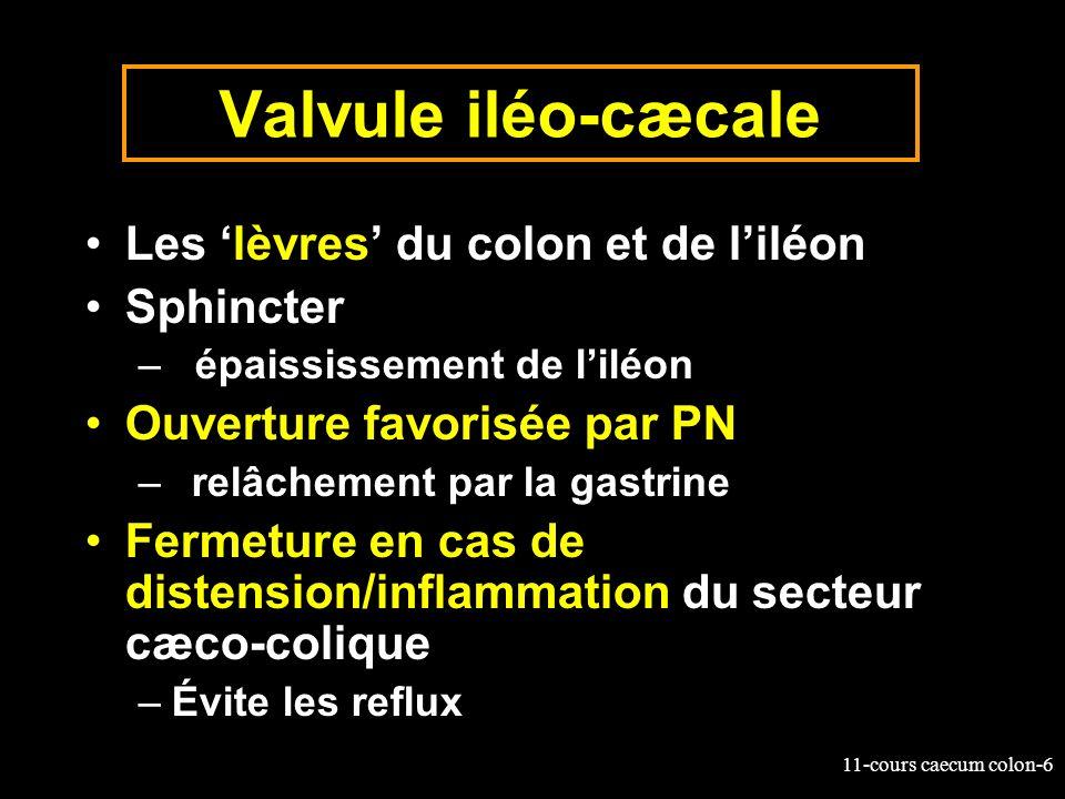Valvule iléo-cæcale Les 'lèvres' du colon et de l'iléon Sphincter