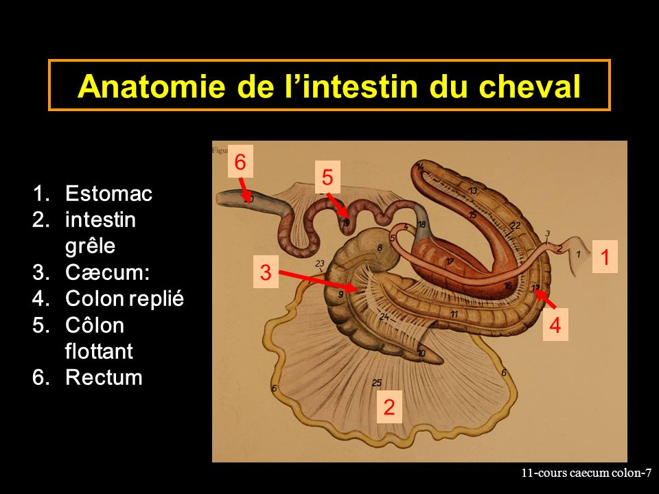 Anatomie de l'intestin du cheval
