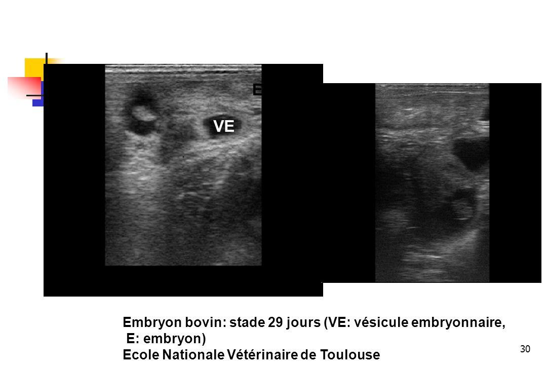 E VE Embryon bovin: stade 29 jours (VE: vésicule embryonnaire,