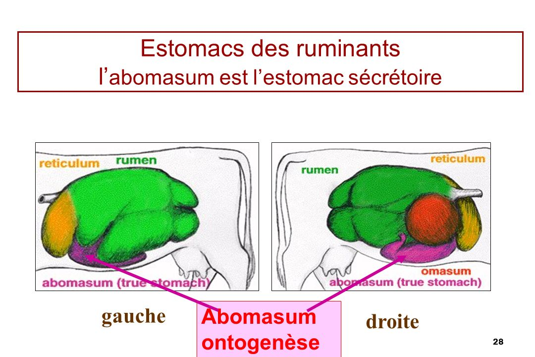 Estomacs des ruminants l'abomasum est l'estomac sécrétoire