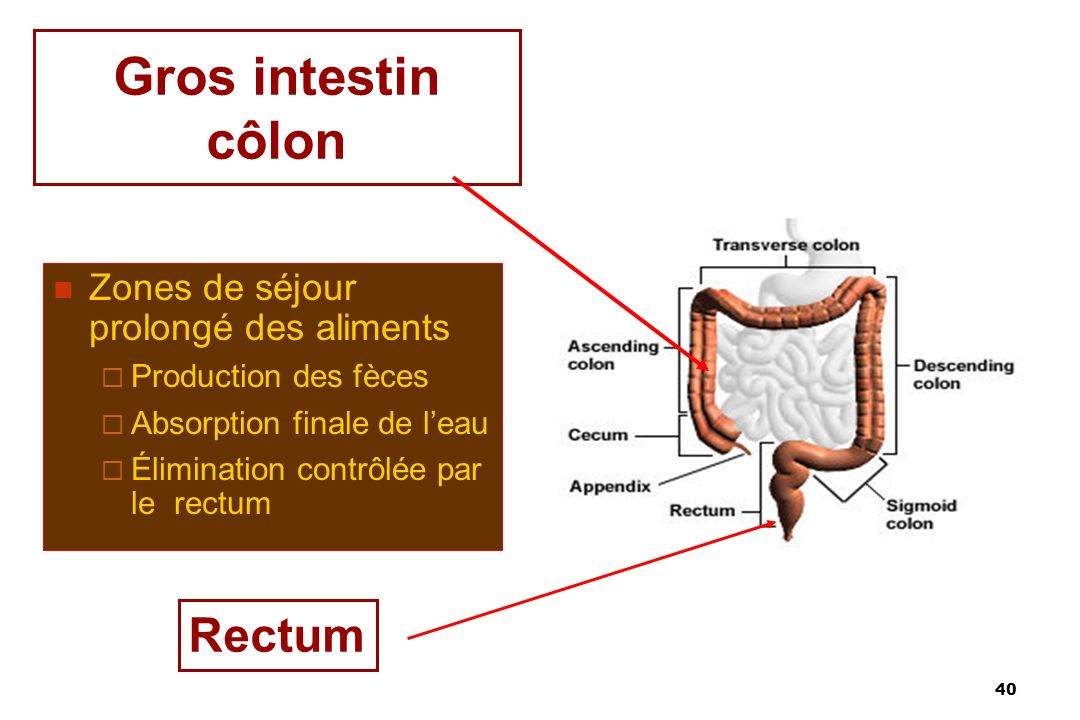 Gros intestin côlon Rectum Zones de séjour prolongé des aliments