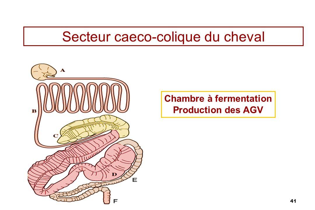 Secteur caeco-colique du cheval