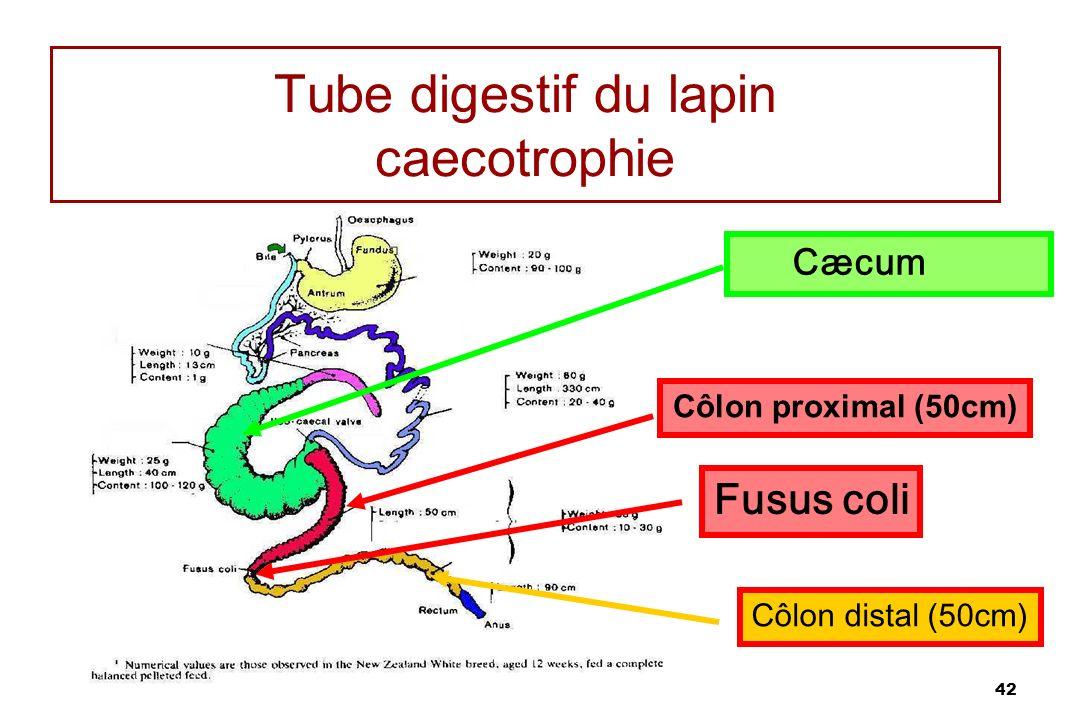 Tube digestif du lapin caecotrophie