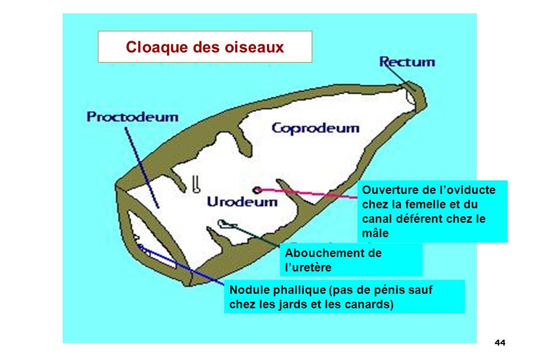 Cloaque des oiseaux Ouverture de l'oviducte chez la femelle et du canal déférent chez le mâle. Abouchement de l'uretère.