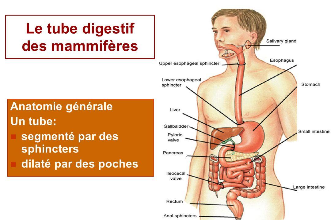 Le tube digestif des mammifères