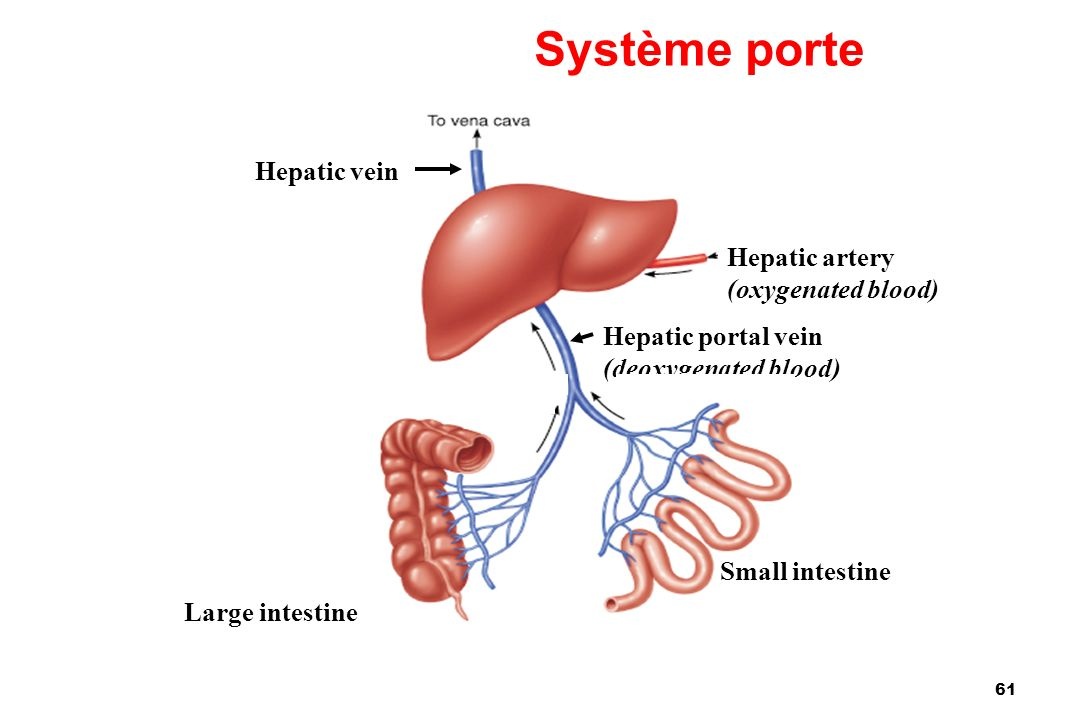 Système porte Hepatic vein Hepatic artery (oxygenated blood)