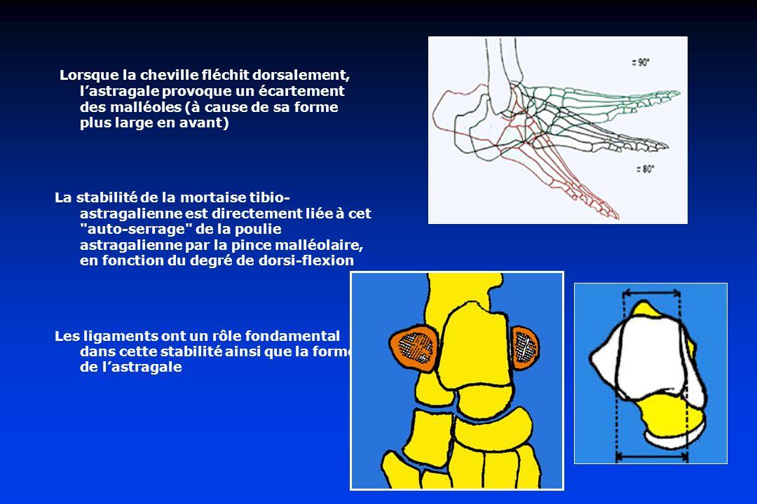 Lorsque la cheville fléchit dorsalement, l'astragale provoque un écartement des malléoles (à cause de sa forme plus large en avant)