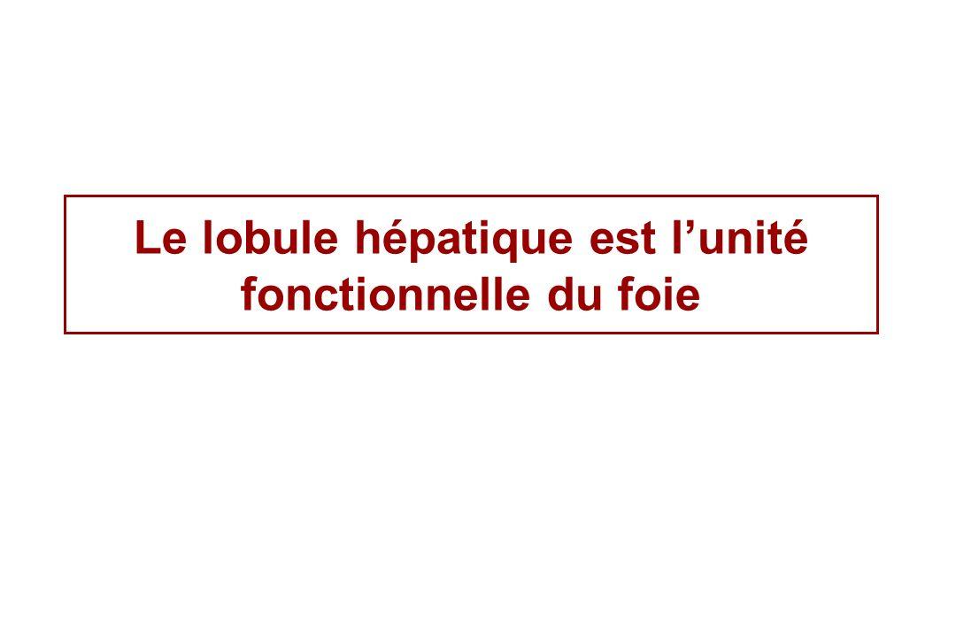 Le lobule hépatique est l'unité fonctionnelle du foie