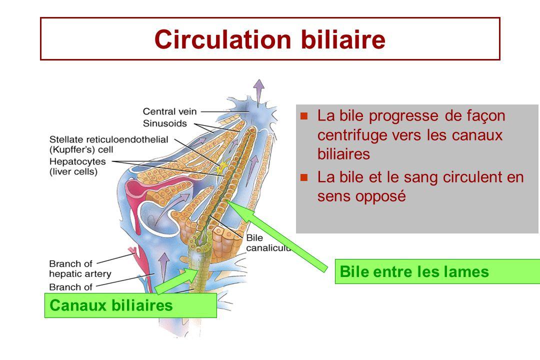 Circulation biliaire La bile progresse de façon centrifuge vers les canaux biliaires. La bile et le sang circulent en sens opposé.