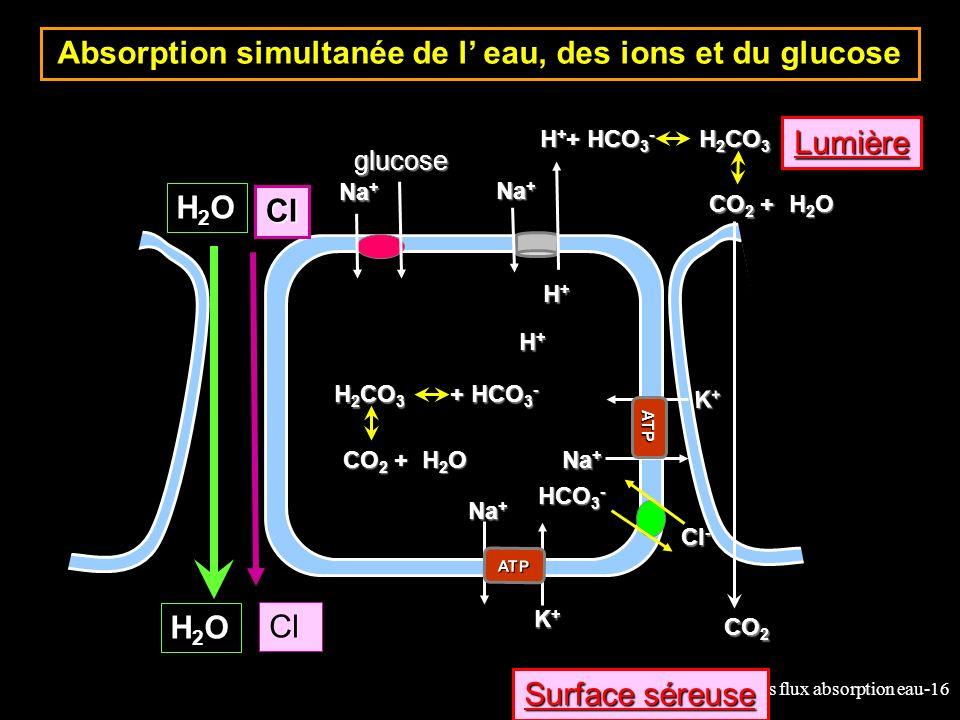 Absorption simultanée de l' eau, des ions et du glucose