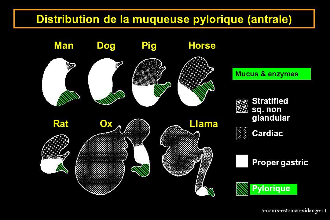 Distribution de la muqueuse pylorique (antrale)