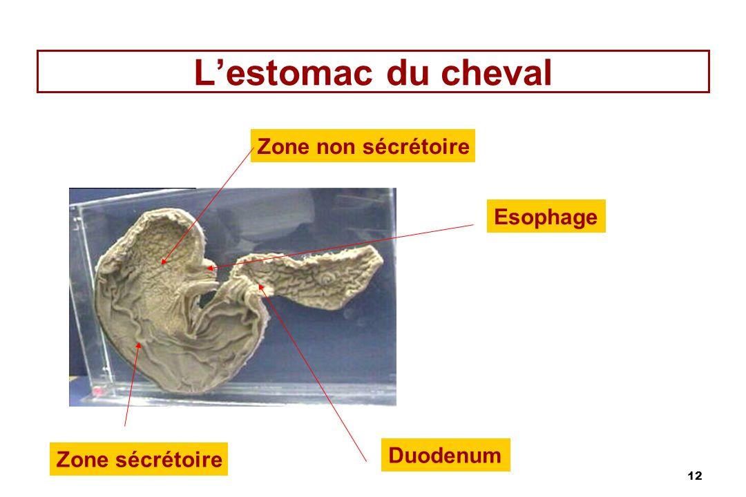 L'estomac du cheval Zone non sécrétoire Esophage Duodenum