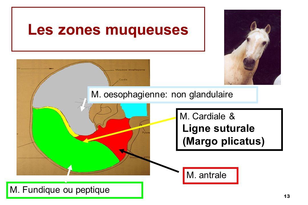 Les zones muqueuses (Margo plicatus) M. oesophagienne: non glandulaire