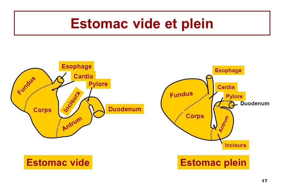 Estomac vide et plein Estomac vide Estomac plein Esophage Cardia