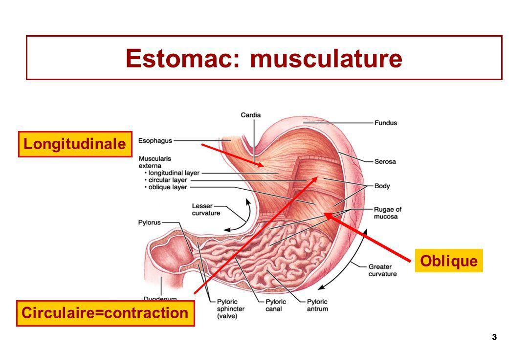 Estomac: musculature Longitudinale Oblique Circulaire=contraction
